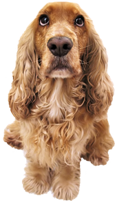 Image of cocker spaniel dog